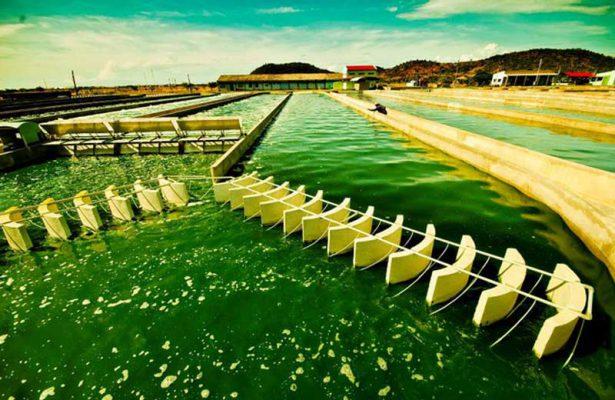 Nuôi trồng tảo Spirulina Vĩnh Hảo